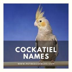 Cockatiel Names