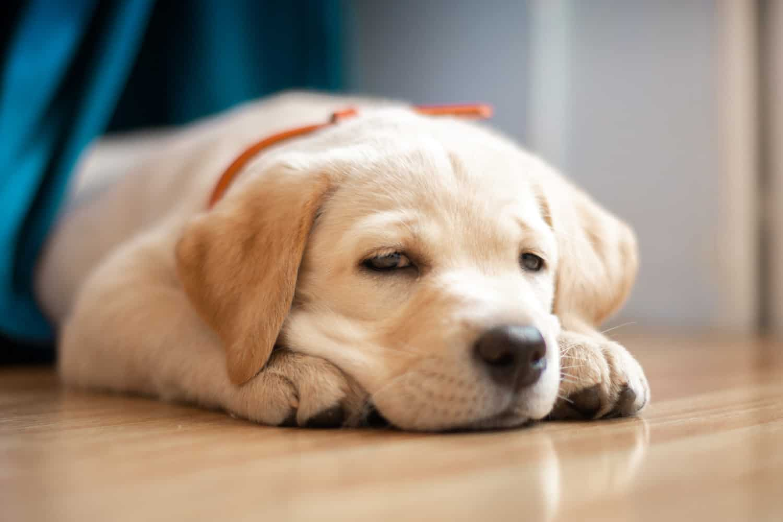 depression in dog