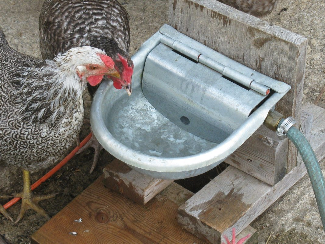 drinker for chickens
